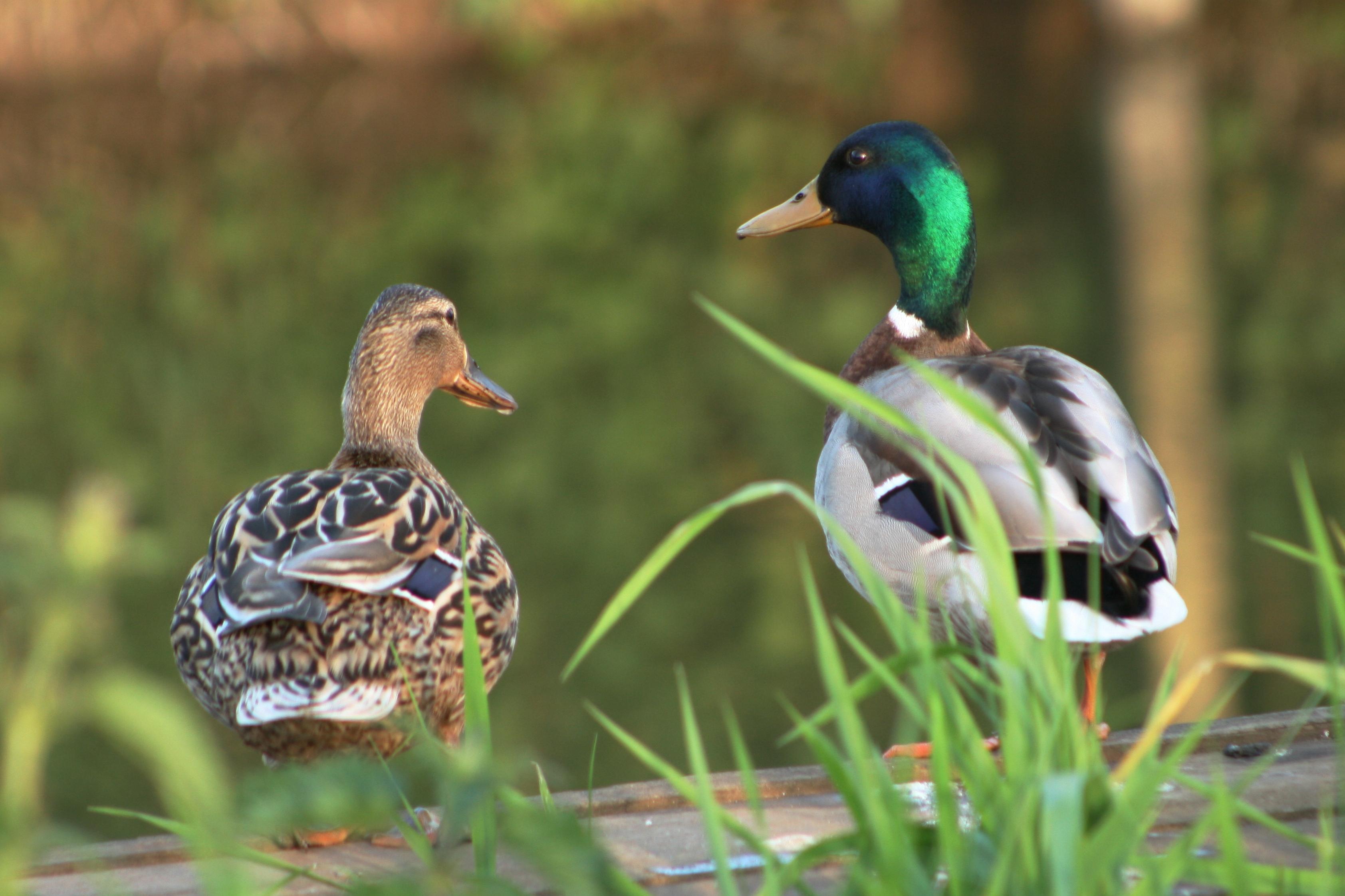 Ducks at Bredon Marina